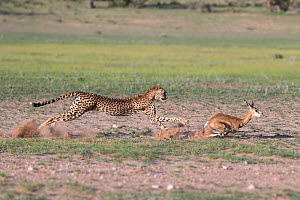 Cheetah (Acinonyx jubatus) chasing young springbok, Kgalagadi Transfrontier Park, Northern Cape, South Africa, January.  -  Ann  & Steve Toon