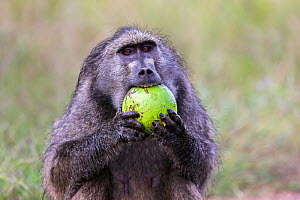 Chacma baboon (Papio ursinus) eating green Monkey orange fruit (Strychnos spinosa), Kruger National Park, South Africa.  -  Ann  & Steve Toon