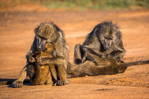 Chacma baboons (Papio ursinus) mothers grooming infants,Kruger National Park, South Africa.  -  Ann  & Steve Toon