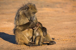 Chacma baboons (Papio ursinus) grooming infant, Kruger National Park, South Africa.  -  Ann  & Steve Toon