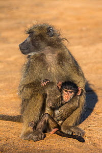 Chacma baboon (Papio ursinus) with young, Kruger National Park, South Africa, May.  -  Ann  & Steve Toon