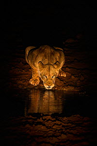 Lioness (Panthera leo) drinking at night, Zimanga Private Game Reserve, KwaZulu-Natal, South Africa. - Ann  & Steve Toon