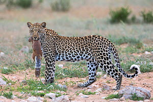Leopard (Panthera pardus) female with ground squirrel (Xerus inauris)  it has just caught, Kgalagadi Transfrontier Park, Northern Cape, South Africa. - Ann  & Steve Toon