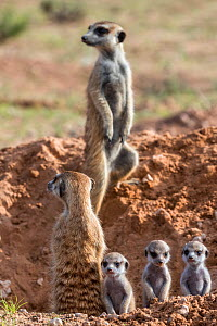 Meerkats (Suricata suricatta) with young, Kgalagadi Transfrontier Park, Northern Cape, South Africa, January.  -  Ann  & Steve Toon