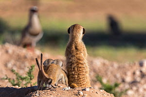 Meerkat (Suricata suricatta) with young watching bird (crowned plover), Kgalagadi Transfrontier Park, Northern Cape, South Africa, January.  -  Ann  & Steve Toon
