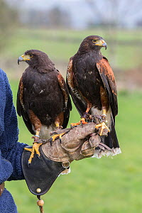 Harris hawks (Parabuteo unicinctus) on the glove, captive falconry bird, Cumbria, UK, April 2016  -  Ann  & Steve Toon