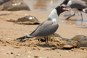 Laughing gull (Leucophaeus atricilla) calling on beach. The gulls are feeding on Atlantic horseshoe crab (limulus polyphemus) egg while the crabs are mating, Delaware Bay, New Jersey, USA, May.  -  John Cancalosi