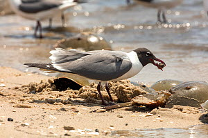 Laughing gull (Leucophaeus atricilla) feeding on Atlantic horseshoe crab (Limulus polyphemus) eggs, while the crabs are mating, Delaware Bay, New Jersey, USA, May.  -  John Cancalosi
