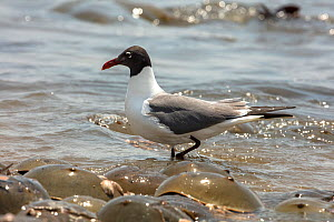 Laughing gull (Leucophaeus atricilla) on beach. The gulls are feeding on Atlantic horseshoe crab (Limulus polyphemus) eggs while the crabs are mating, Delaware Bay, New Jersey, USA, May.  -  John Cancalosi