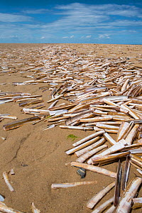 Razor shell (Ensis arcuatus) empty shells wahsed up on  sand beach, Norfolk, England, July 2016.  -  Gary  K. Smith