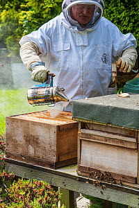 Beekeeper using smoker to pacify bee colony prior to inspection, Norfolk, England, May. Norfolk, England, June 2017.  -  Gary  K. Smith