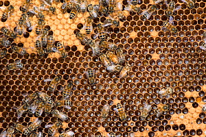 Honey Bee colony showing female worker bees on brood chamber comb. Norfolk, England, June 2017.  -  Gary  K. Smith