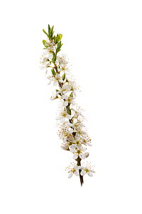 Blackthorn (Prunus spinosa) flowers.  -  Gary  K. Smith