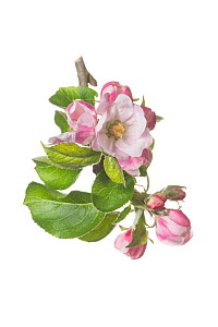 Clutivated Apple tree blossom (Malus domestica 'Bramley's Seedling')  -  Gary  K. Smith