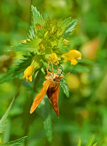 Larger skipper (Ochlodes sylvanus) feeding from Yellow rattle (Rhinanthus minor) flowers, Sussex, England, UK. June. - Stephen  Dalton