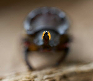Least stag beetle (Sinodendron cylindricum) front view, Sussex, England, UK, May. - Stephen  Dalton