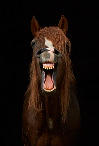 Morgan horse with mouth open, yawning against black background.  -  Stephen  Dalton