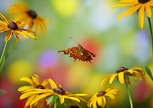 Comma butterfly (Polygonia c-album) in flight, Sussex, England, UK, September. - Stephen  Dalton