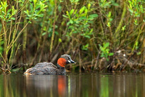 Little Grebe (Tachybaptus ruficollis) adult in fen, De Regte Nature Reserve, Goirle, the Netherlands. May  -  David  Pattyn