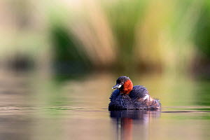 Little grebe (Tachybaptus ruficollis) with feathers fluffed up whilst carrying chicks. De Regte Nature Reserve, Goirle, the Netherlands. June  -  David  Pattyn