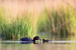 Little Grebe (Tachybaptus ruficollis) feeding its chicks, De Regte natuurreservaat nature reserve, Goirle, the Netherlands. June  -  David  Pattyn