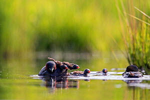 Little Grebe (Tachybaptus ruficollis) pair feeding its chicks, De Regte Nature Reserve, Goirle, the Netherlands. June  -  David  Pattyn