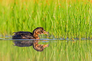 Little Grebe (Tachybaptus ruficollis) chick, De Regte Nature Reserve, Goirle, the Netherlands. July  -  David  Pattyn