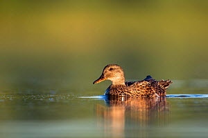 Gadwall (Anas strepera) female on water, Den Oever, The Netherlands, July  -  David  Pattyn