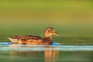Gadwall (Anas strepera) female on the water, Den Oever, The Netherlands, July.  -  David  Pattyn