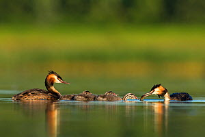 Great crested grebe (Podiceps cristatus) family on water, with adult  feeding its young, Den Oever, The Netherlands, July, - David  Pattyn