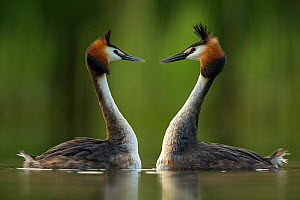 Great crested grebe (Podiceps cristatus) perfectly mimicking each others movements in courtship behaviour. Den Oever, The NetherlandsMay. - David  Pattyn