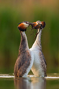 Great crested grebe (Podiceps cristatus) performing their 'weed dance' during courtship. Den Oever, The Netherlands. July - David  Pattyn