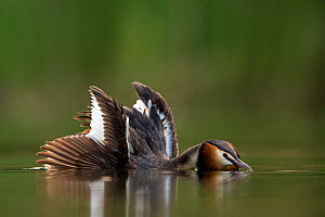 Great crested grebe (Podiceps cristatus) with crest erected and spreading its wings during a courtship performance for its partner Den Oever, The Netherlands. July - David  Pattyn