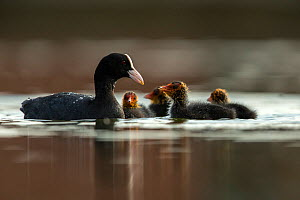 Coot (Fulica Atra) female feeding its chicks. Den Oever, The Netherlands. May - David  Pattyn
