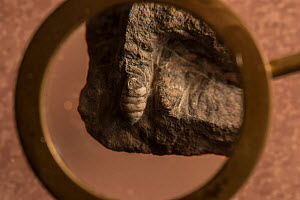Fossil of Dendropupa vetusta, the worlds first known land snail, featured in Charles Darwin's The Origin of Species and convinced Darwin that coal was formed on land. Joggins Fossil Cliffs UNESCO Worl...  -  Nick Hawkins
