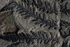 Fossil leaves of seed ferns, a kind of extinct plant, Joggins Fossil Cliffs UNESCO World Heritage Site, Bay of Fundy, Nova Scotia, Canada. May 2017  -  Nick Hawkins