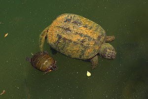 Snapping turtle (Chelydra serpentina) and Painted turtle (Chrysemys picta)  Maryland, USA, June. - John Cancalosi