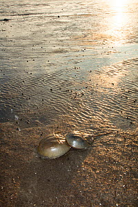 Atlantic horseshoe crabs (Limulus polyphemus) pair mating and travelling to the ocean. Delaware bay, New Jersey, USA, June.  -  John Cancalosi