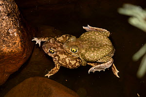 Couch's spadefoot toad (Scaphiopus coucii) mating after summer rains, Sonoran desert Arizona, USA.  -  John Cancalosi