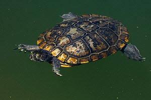 Red-eared slider, (Trachemys scripta) in water,  old melanistic individual, Maryland, USA, August. - John Cancalosi