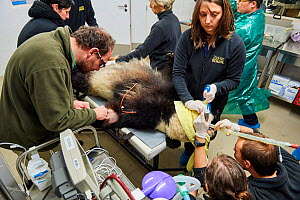 Giant panda (Ailuropoda melanoleuca) female, Huan Huan, during preparation for artificial insemination in the zoo surgery.  Beauval Zoo, France, 23rd March 2017. - Eric Baccega