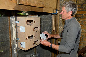 Peter Grayshon replaces inspection covers to a Common swift (Apus apus) nest box he's just helped to attach to a louvred window in the bell tower of Holy Trinity church, Bradford-on-Avon, Wiltshire, U... - Nick Upton