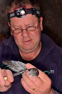 Simon Evans ringing a Common swift chick (Apus apus) removed briefly from a nest box in All Saints Church belfry, Worlington, Suffolk, UK, July. Model released. - Nick Upton