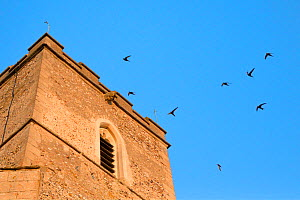 Swifts (Apus apus) flying and calling around All Saints Church bell tower at dusk, where a large colony breeds in nestboxes behind the window louvres, Worlington, Suffolk, July.  -  Nick Upton