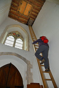 Simon Evans climbing a 40ft ladder to reach a church belfry with over 40 nestboxes for Common swifts (Apus apus) to ring the chicks, Worlington, Suffolk, UK, July. Model released.  -  Nick Upton
