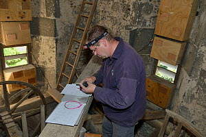 Simon Evans ringing a Common swift chick (Apus apus) removed briefly from a nest box in All Saints Church belfry with over 40 swift nestboxes, Worlington, Suffolk, UK, July. Model released. Winner of...  -  Nick Upton