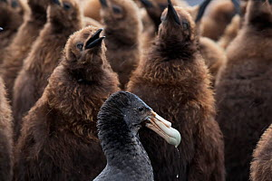 Southern Giant Petrel (Macronectes giganteus) in King penguin (Aptenodytes patagonicus) chick creche looking for prey. Volunteer Point, East Falkland, Falkland Islands, October  -  Claudio  Contreras