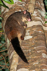 Short-eared Brushtail Possum (Trichosurus caninus), Mount Warning National Park, Gondwana Rainforest UNESCO World Hertiage Site, New South Wales, Australia. - Jiri Lochman