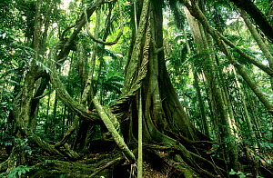 Giant lianas hanging from rainforest tree, Subtropical rainforest, Border Ranges National Park, Gondwana Rainforest UNESCO Natural World Heritage Site, New South Wales, Australia.  -  Jiri Lochman