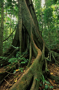 Subtropical rainforest dominant tree, Border Ranges National Park, Gondwana Rainforest UNESCO Natural World Heritage Site, New South Wales, Australia.  -  Jiri Lochman